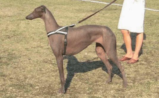 Редкие породы лысых собак: голый дирхаунд