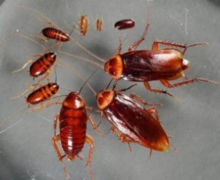 регент 800 от тараканов отзывы