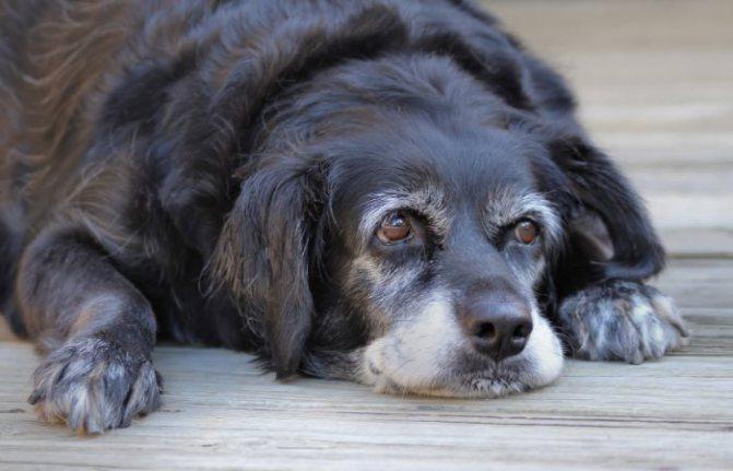 Рекорды собак в книге рекордов Гиннеса