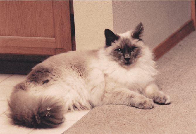 Репродуктивное здоровье балинезийской кошки