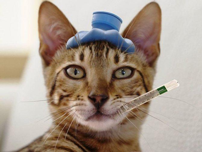 Резкое повышение температуры у кошки