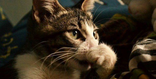 'Ринит кошек - аллергический ринит, симптомы и лечение насморка у кошек в Москве. Ветеринарная клиника