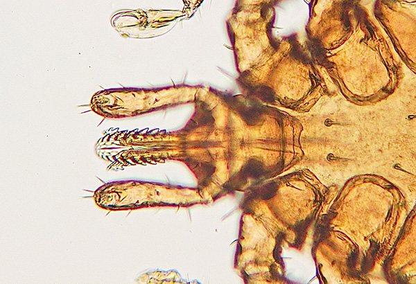 Ротовой аппарат паразита способен очень надежно удерживаться в коже жертвы.