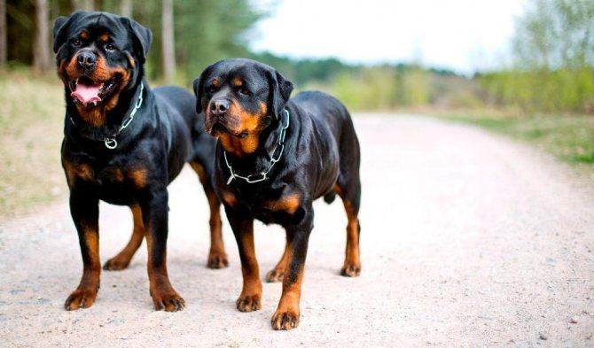 Ротвейлер: все о собаке, фото, описание породы, характер, цена