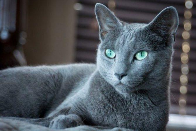 Русская голубоглазая кошка