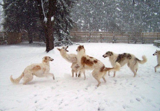 Русская псовая борзая - воспитание и дрессировка