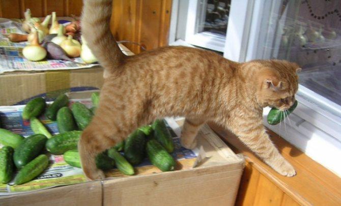 русские коты не боятся огурцов