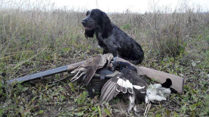 Русский спаниель - отличный друг и охотник