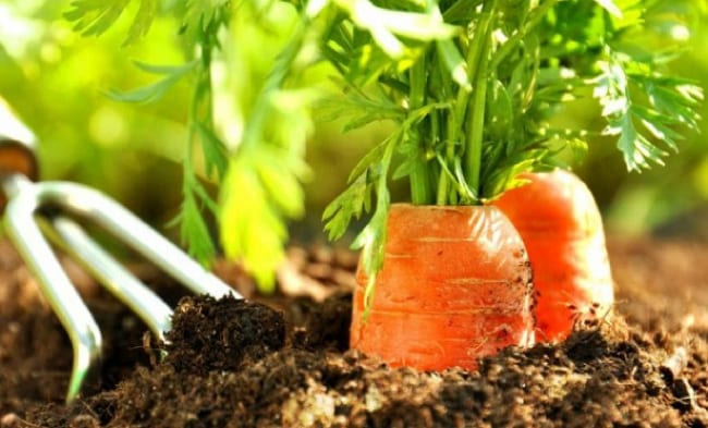Рыхление грядки с морковью