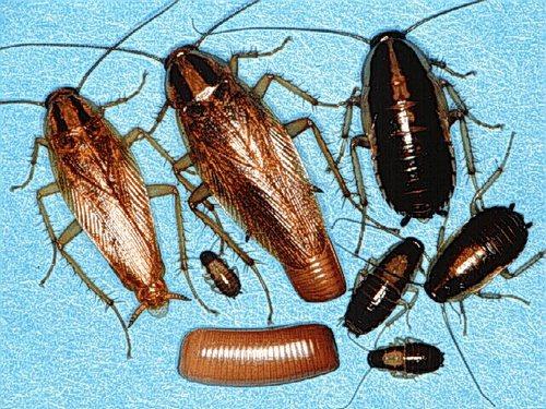 Рыжие и черные тараканы на разных стадиях развития
