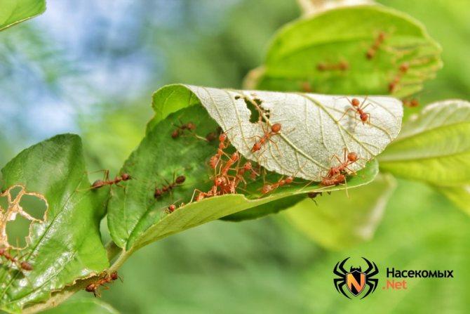 Рыжие лесные муравьи фото