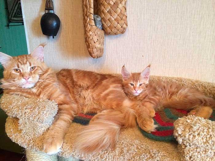 Рыжий кот и котенок