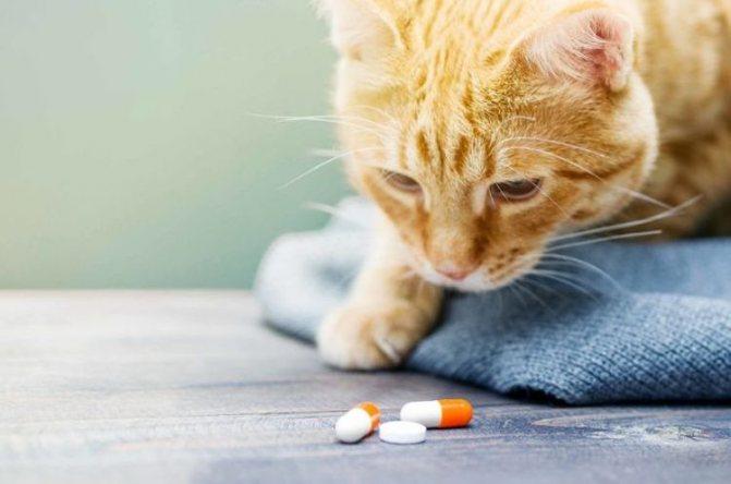 Рыжий кот нюхает таблетки