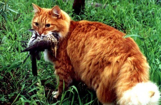 Рыжий кот поймал птицу
