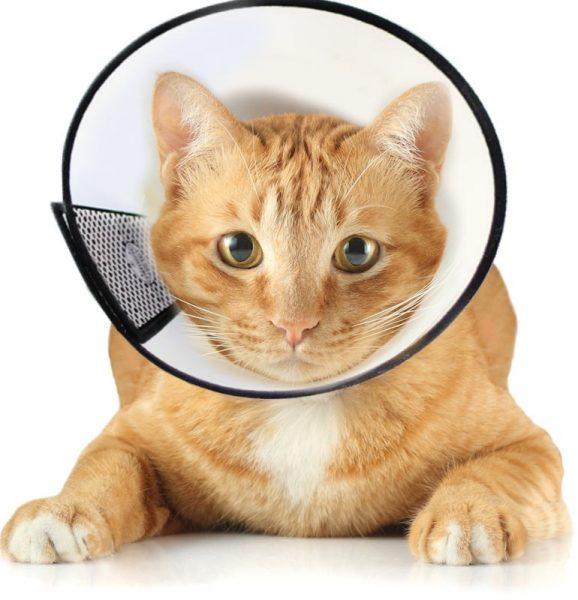 Рыжий кот в ветеринарном конусе
