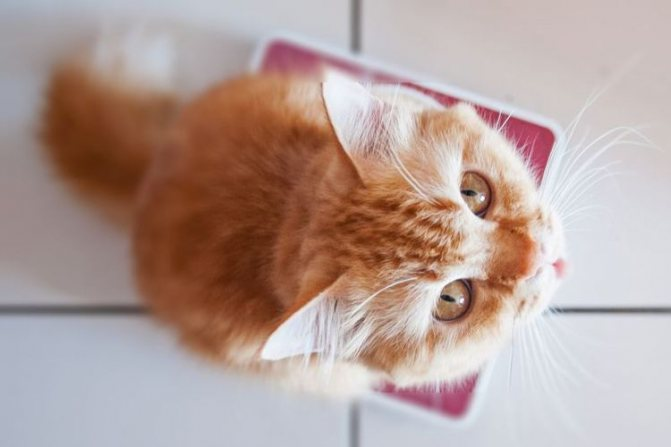 Рыжий котенок взвешивается