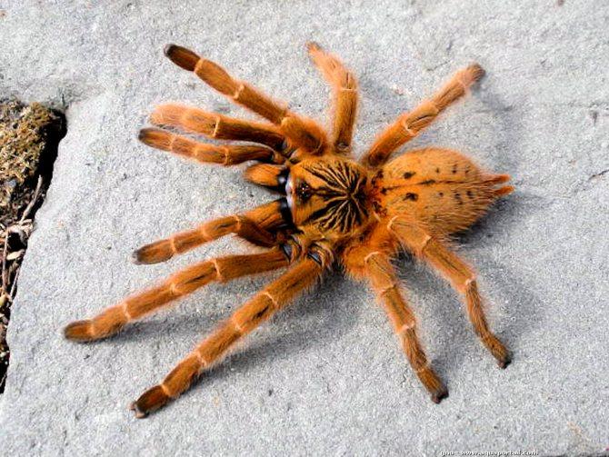 Рыжий паук