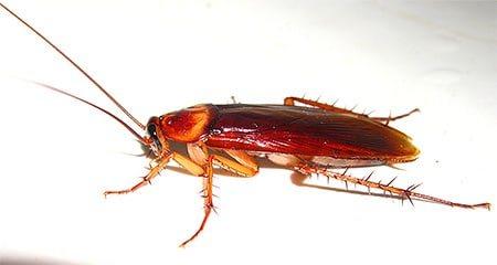 Рыжий таракан