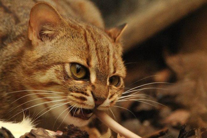 ржавые кошки