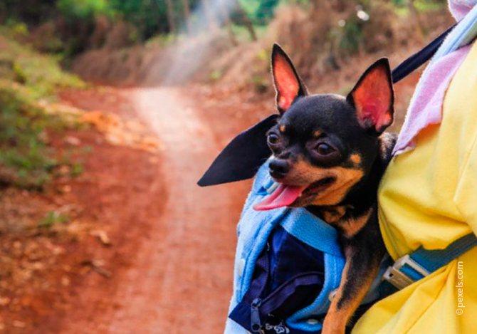 С маленькой чихуахуа можно легко путешествовать