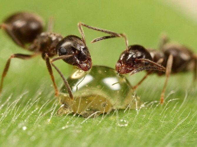 Садоводы спорят - вредны муравьи или нет
