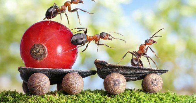 Садовые муравьи - вред и польза