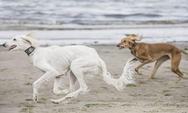 Салюки-собака-Описание-особенности-виды-уход-и-содержание-породы-салюки-17