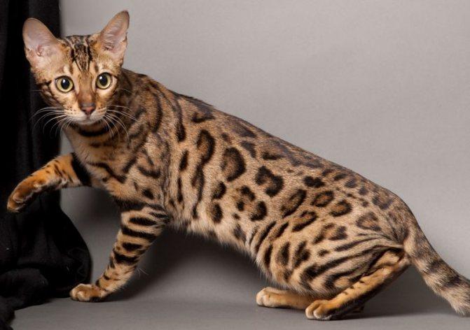 Самая быстрая кошка в мире: топ 9 скоростных пород