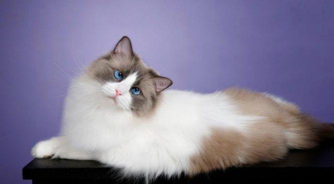 самая пушистая порода кошек в мире