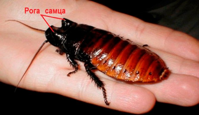 самец мадагаскарского таракана