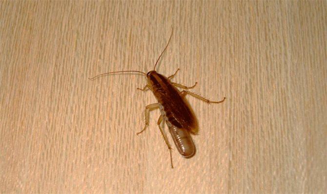 самка таракана с оотекой на брюхе