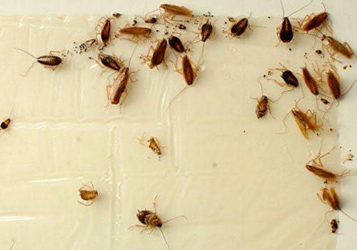 Самодельная липкая ловушка для тараканов в квартире