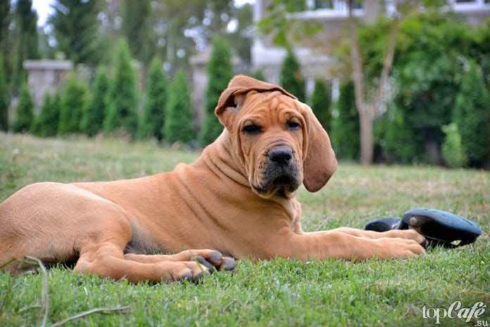 Самые агрессивные собаки: фила бразилейро