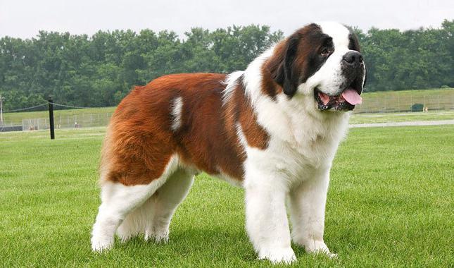 самые большие крупные и сильные породы собак в мире