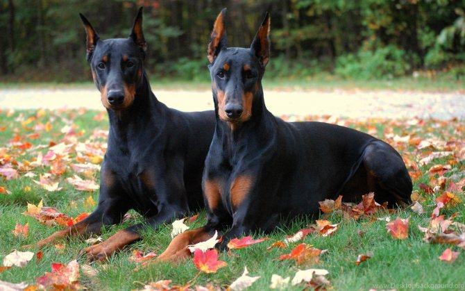самые преданные породы собак топ 10