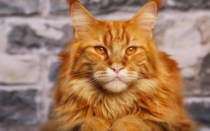 самые пушистые коты в мире