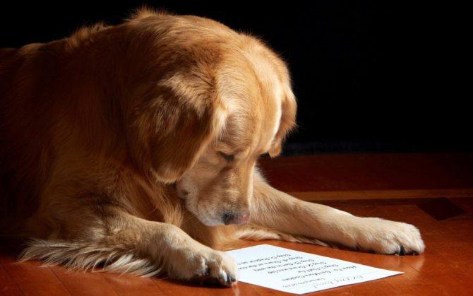 samye umnye sobaki - Топ 10 самых умных собак в мире