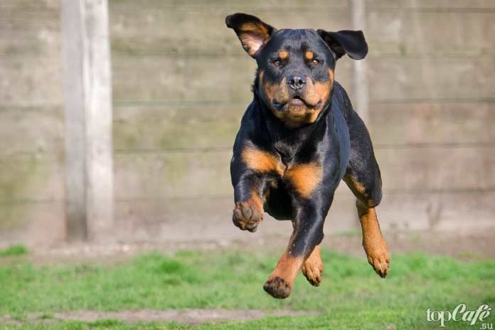 Самые злые собаки: Ротвейлер