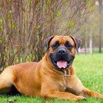 Самые злые собаки: Южноафриканский бурбуль