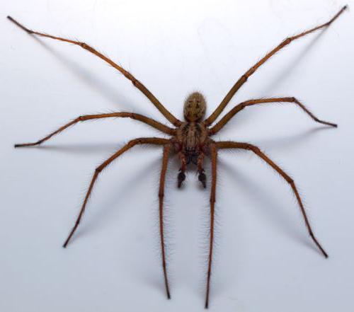 самый гигантский паук в мире