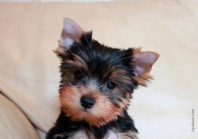 Самый простой способ поставить ушки у щенка - регулярно подстригать его