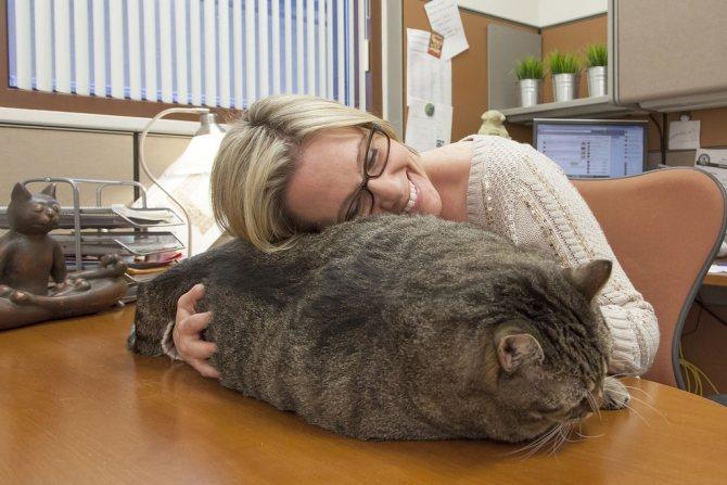 Самый тяжелый кот.