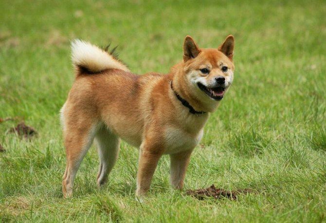 Сансю — собачка, относящаяся к группе шпицев
