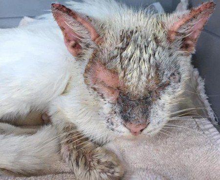 Саркоптоидные клещи у кошек