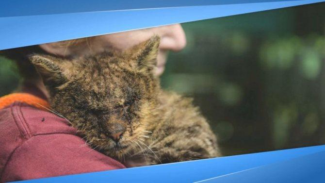 Саркоптоз лечение у кошек