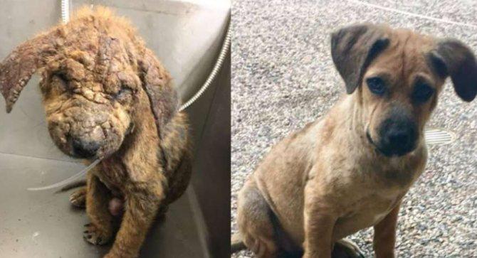 Саркоптоз у собаки до лечения и после лечения