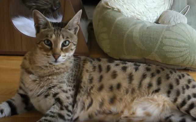 Саванна кошка