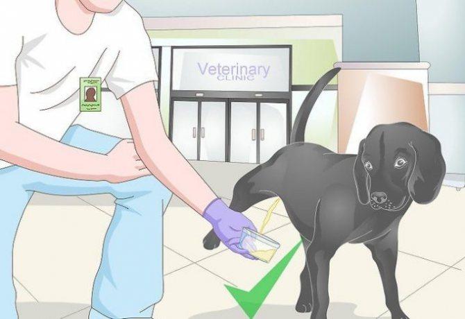 сбор мочи собаки в подставленную тару
