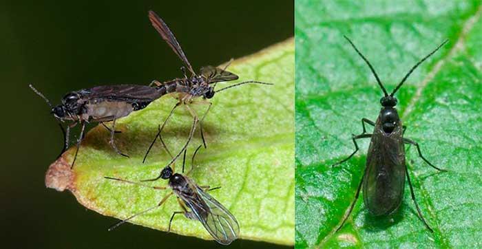 Сцирариды, грибные комарики - черные мошки на домашних растениях