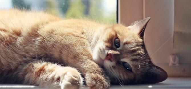 Седативные средства для кошек во время течки